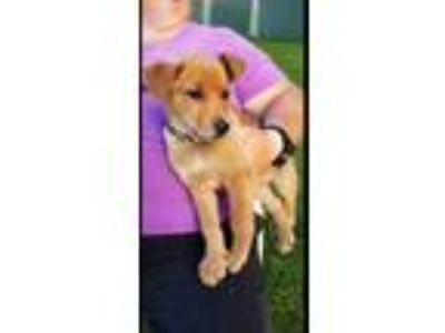 Adopt Potter a Border Collie, Labrador Retriever