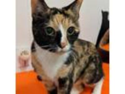 Adopt Colors a Calico or Dilute Calico Domestic Shorthair cat in New York City