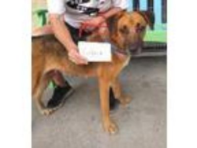 Adopt Cookie a German Shepherd Dog, Labrador Retriever