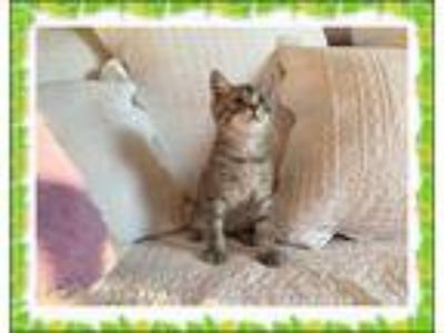 Adopt Florence a Gray, Blue or Silver Tabby Domestic Shorthair (short coat) cat
