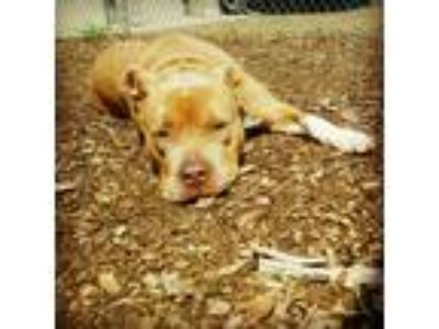 Adopt Holly a Tan/Yellow/Fawn American Staffordshire Terrier / Mixed dog in
