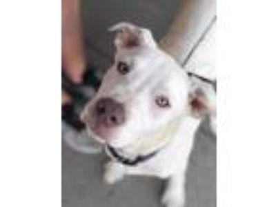 Adopt Chopper Hobby a White - with Gray or Silver Mixed Breed (Large) / Mixed