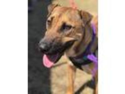 Adopt Indy Harvey, #74 a Shar-Pei, Shepherd