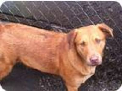 Adopt Sandy a Red/Golden/Orange/Chestnut Labrador Retriever / Mixed dog in Baton
