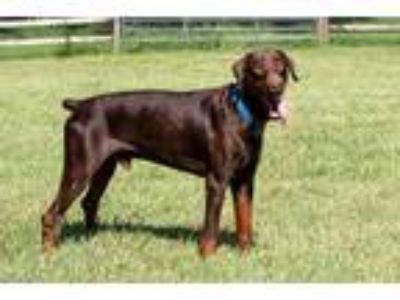 Adopt DASH a Brown/Chocolate - with Tan Doberman Pinscher / Mixed dog in