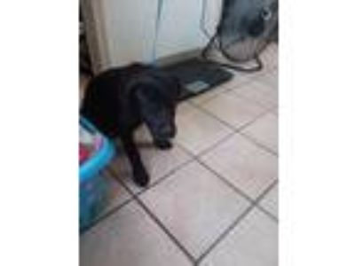 Adopt LACY a Black Border Collie / Shepherd (Unknown Type) / Mixed dog in