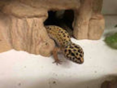 Adopt SNIPE a Lizard / Mixed reptile, amphibian, and/or fish in San Francisco