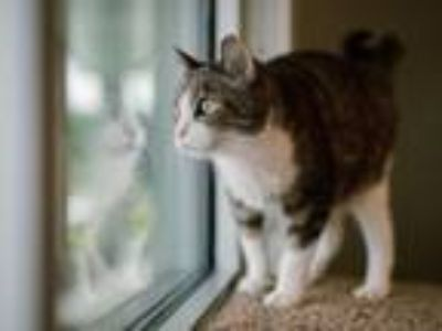 Adopt Eclair a Domestic Short Hair