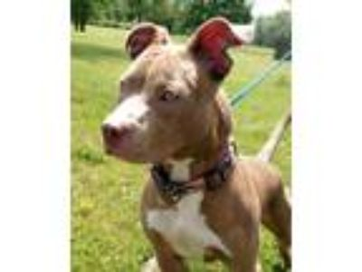 Adopt Dinah a Tan/Yellow/Fawn - with White American Pit Bull Terrier / Pit Bull