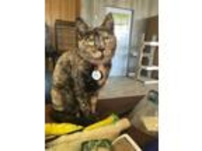 Adopt Paris a Tortoiseshell Domestic Shorthair / Mixed (short coat) cat in