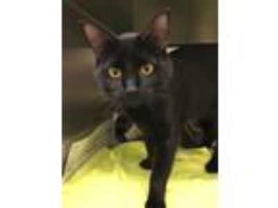 Adopt Carter a Domestic Short Hair