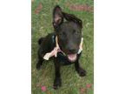 Adopt COCO a Black Labrador Retriever / Mixed dog in Seagoville, TX (22805268)