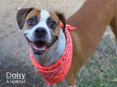 Adopt DAISY a Brown/Chocolate - with White Boxer / Mixed dog in Houston