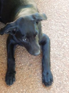 Free Blue Lacey & Lab mix female puppy.