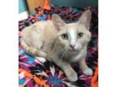 Adopt Emma a Cream or Ivory Domestic Shorthair / Domestic Shorthair / Mixed cat