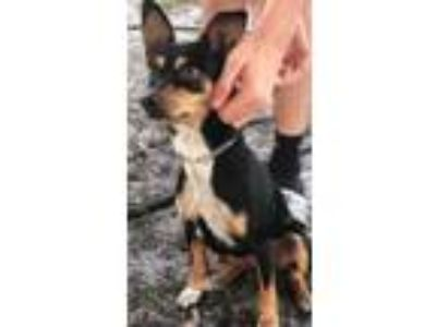 Adopt Stella a Tricolor (Tan/Brown & Black & White) Miniature Pinscher /