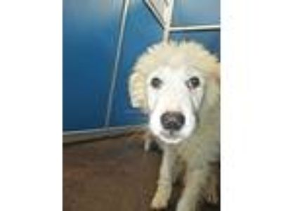 Adopt Cage 11 May 9 a Great Pyrenees
