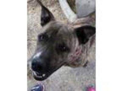 Adopt Frankie a American Staffordshire Terrier