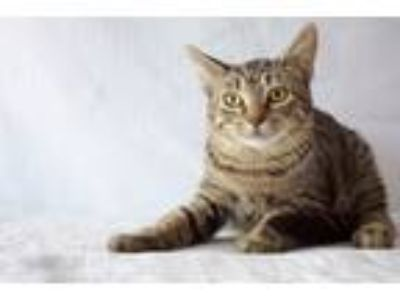 Adopt Springer a Gray, Blue or Silver Tabby Domestic Shorthair (short coat) cat