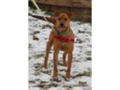 Adopt Maple a Red/Golden/Orange/Chestnut Labrador Retriever / Mixed dog in