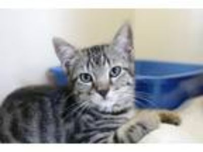 Adopt JALAPENO a Domestic Shorthair / Mixed (short coat) cat in Redwood City