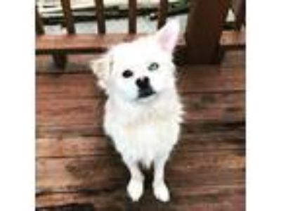 Adopt Bella JJ a Tan/Yellow/Fawn - with White Husky / Mixed dog in Richfield