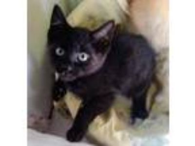 Adopt Kite a All Black Domestic Shorthair / Domestic Shorthair / Mixed cat in