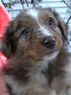 Australian Shepherd PUPPY FOR SALE ADN-108547 - Australian Shepherd puppies