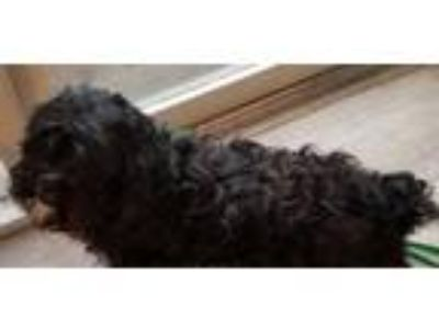 Adopt Sparky a Black Cocker Spaniel / Poodle (Miniature) / Mixed dog in Dallas