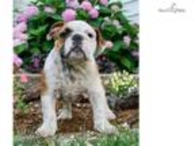 Baristo Adorable Akc English Bulldog Puppy Ready
