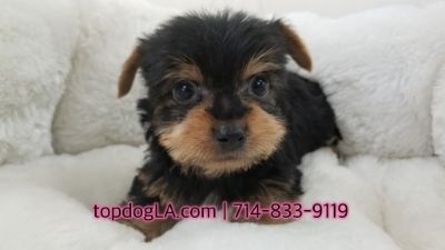 Yorkshire Terrier PUPPY FOR SALE ADN-69451 - Yorkshire terrier Male Berkeley