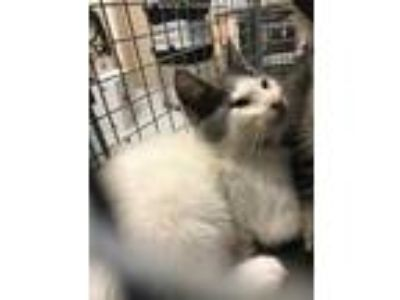 Adopt JUNIPER a White (Mostly) Domestic Shorthair / Mixed (short coat) cat in