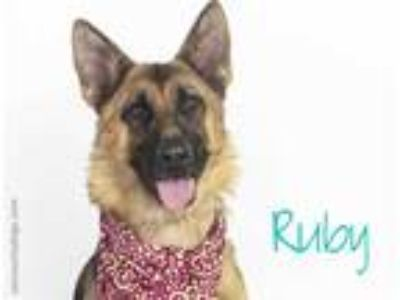Adopt *RUBY a Brown/Chocolate - with Black German Shepherd Dog / Mixed dog in