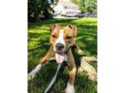 Adopt Femi a Tan/Yellow/Fawn American Pit Bull Terrier / Mixed dog in DeKalb