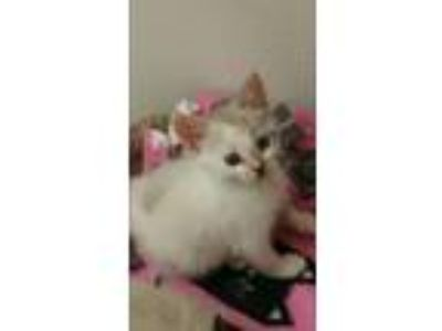 Adopt Snowball a Cream or Ivory (Mostly) American Shorthair (medium coat) cat in