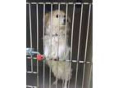 Adopt a White - with Tan, Yellow or Fawn Papillon / Dachshund / Mixed dog in