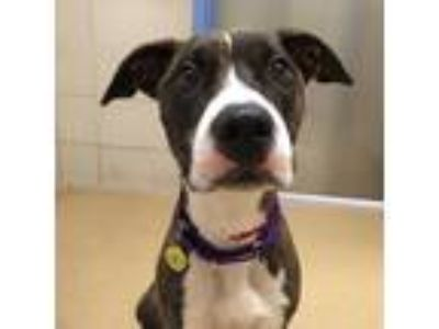Adopt Nala a Brown/Chocolate American Pit Bull Terrier / Mixed dog in Milwaukee