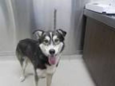 Adopt *MARVIN a Tricolor (Tan/Brown & Black & White) Husky / Mixed dog in