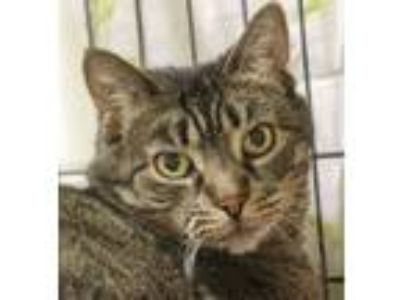 Adopt Jill a Domestic Short Hair