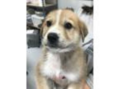 Adopt Larry a Great Pyrenees, Husky