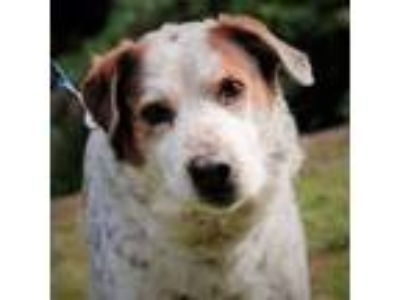 Adopt Jack a Australian Cattle Dog / Border Collie / Mixed dog in Silverdale