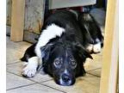 Adopt INDY a Australian Shepherd, Border Collie