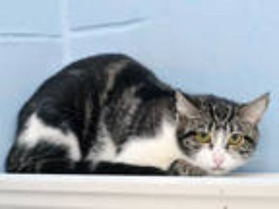Adopt LYDIA a Brown Tabby Domestic Shorthair / Mixed (short coat) cat in
