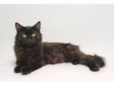 Adopt Tala a All Black Domestic Longhair (long coat) cat in Flower Mound