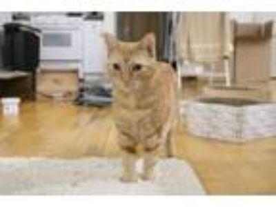 Adopt Charlene a Orange or Red Tabby American Shorthair cat in Providence