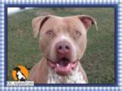 Adopt CLYDE a Pit Bull Terrier