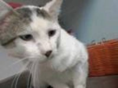 Adopt Troy a White Domestic Shorthair / Domestic Shorthair / Mixed cat in