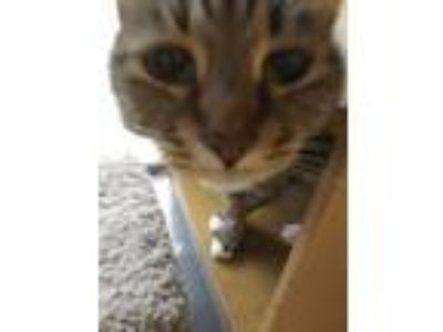 Adopt layla a Spotted Tabby/Leopard Spotted Domestic Shorthair (short coat) cat
