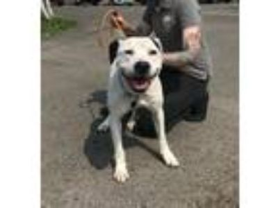 Adopt Alvin a Pit Bull Terrier, Mixed Breed