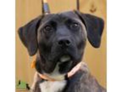 Adopt Loretta a Brindle Labrador Retriever / Mixed dog in Savannah